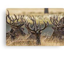 Red Deer stags (Cervus elaphus) resting in the long grass, with velvet antlers. Canvas Print