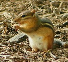 Chippy the Chipmunk by AnnDixon
