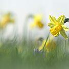 Daffodils in the field by Bob Daalder