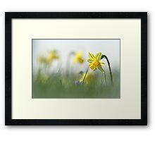 Daffodils in the field Framed Print