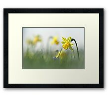 Daffodils in the field Framed Print