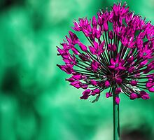 Flora - Purple Ball by ncp-photography