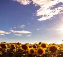 sunflowers field in a summer day Sticker