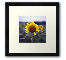 Sunflower's Last Days Framed Print
