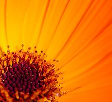 Orange Flower by AlexFHiemstra
