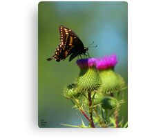 Swallowtail on Canadian Thistle Canvas Print