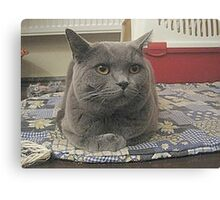 british shorthair grey laying Canvas Print
