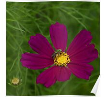 Metallic Green Bee on a Cosmos Flower Poster