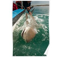 Researchers are tagging a sandbar shark (Carcharhinus plumbeus)  Poster