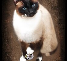 <º))))><U GOTTA B PLAYIN WITH YOUR OWN DING-A-LING (SIAMESE CAT) <º))))><      by ✿✿ Bonita ✿✿ ђєℓℓσ