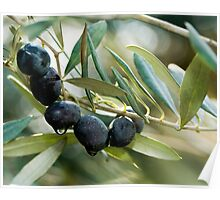 branches and leaves of an Olive tree Poster