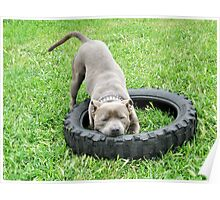 Staffordshire Bull Terrier, One Chomp Or Two. Poster