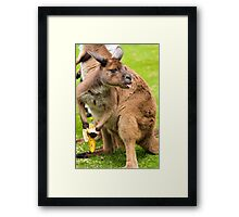 Close-up on a kangaroo eating a banana with a funny face Framed Print