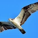 Osprey in Flight by imagetj