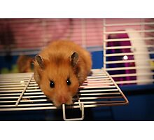 Syrian Hamster Photographic Print