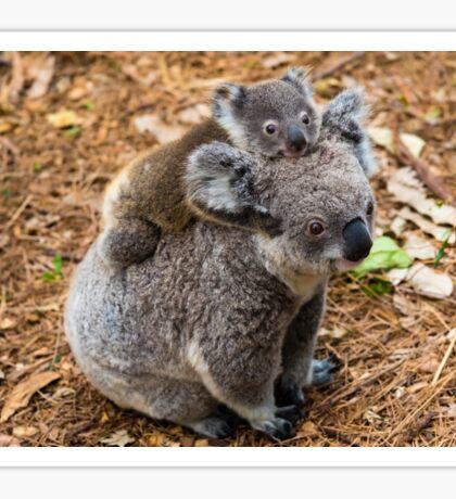 Australian koala bear native animal with baby Sticker