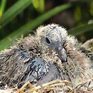 Dove chicks 005 by kevin chippindall