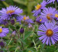 Wild Asters by vigor