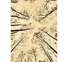Birch Forest Canopy, Sweden Photographic Print