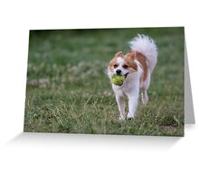Mini Spitz  running  Close-up view of  dog Greeting Card