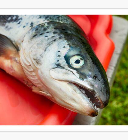 raw salmon fish  Sticker