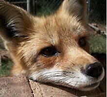 Rusty the Red Fox Photographic Print