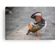 Closeup male mandarin duck on the ground Canvas Print