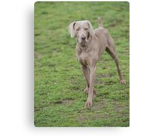 Weimaraner Dog running outside in the park Canvas Print