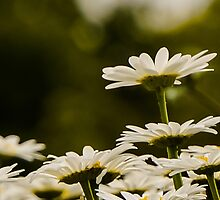 DAISIES THAT STAND OUT by pjm286