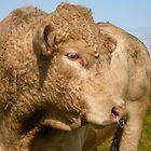 Profile of a Bull -Ireland by Jenny Hambleton
