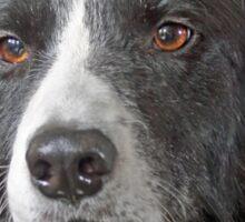 Border Collie Dog Portrait Sticker