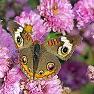 Common Buckeye Butterfly by Susan S. Kline