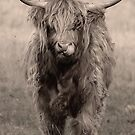 Highland cattle hungry for more by miradorpictures