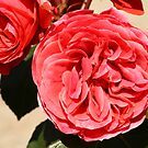 Rose Garden 13-15 by beeden