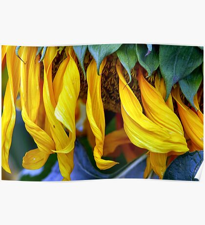 close up details of a sunflower Poster