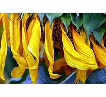 close up details of a sunflower Photographic Print