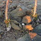 Clairview Mangroves Sunrise Flotsam ,N. Qld Australia  by Virginia  McGowan