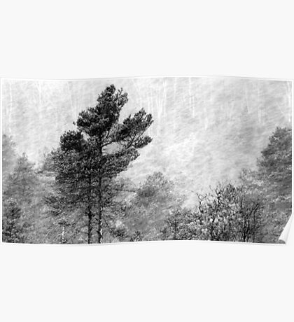 9.11.2016: Pine Trees in Snowstorm Poster