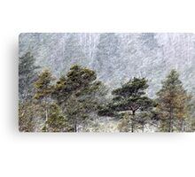 9.11.2016: Pine Trees in Snowstorm III Canvas Print