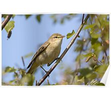 Willow warbler (Phylloscopus trochilus) perched in a tree. Poster