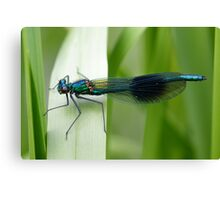 Male Banded Demoiselle (Calopteryx splendens) perched on a reed. Canvas Print