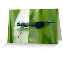 Male Banded Demoiselle (Calopteryx splendens) perched on a reed. Greeting Card