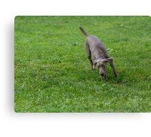 Weimaraner Dog running outside.  Canvas Print