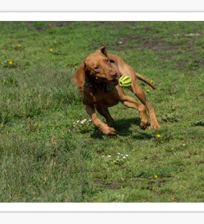 Hungarian Vizsla dog with ball playing on green grass.  Sticker