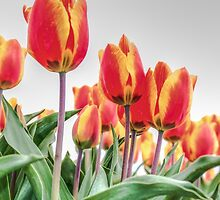 Dutch Tulips part 2 by AlexFHiemstra