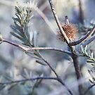 Banksia in the scrub by catdot