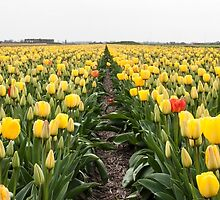 Dutch Tulips part 6 by AlexFHiemstra