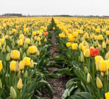 Dutch Tulips part 6 Sticker