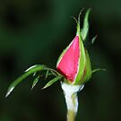 Tight Rose Bud by AnnDixon