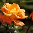 peach rose by Manon Boily